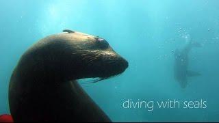 Tauchen mit südafrikanischen Seebären bei Kapstadt
