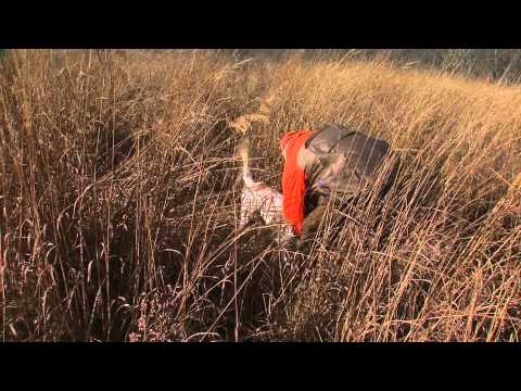 Hunting Quail And Pheasant With English Setters