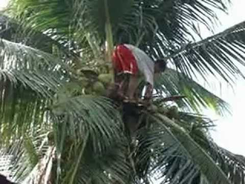 ''COCONUT TREE'' June 23,2012 By:CAT G.  (Bayanan,Muntinlupa City.PHILIPPINES)