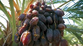 JORDAN RIVER DATES - FARMS & PACKING FACILITIES