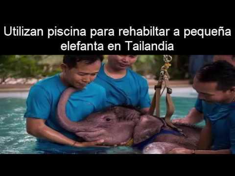 Rehabilitan en una piscina a una elefanta bebé mutilada