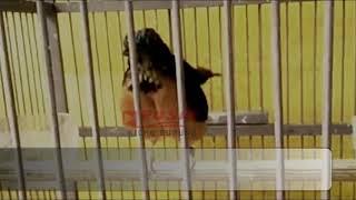 Pikat Murai Batu Bahan Supaya Cepat Bunyi | Pancingan Burung Murai Trotol