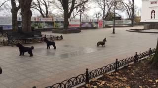 Гимн Одессы раскрывает вокальные способности собак (видео-факт)
