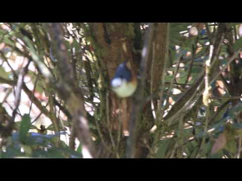 White browed Nuthatch