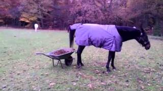 Potty trained horse is helpful