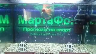 Золотая рыбка МартаФон. 20 июля
