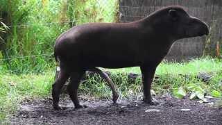 BRAZILIAN TAPIR with five legs at Melbourne zoo - Australia