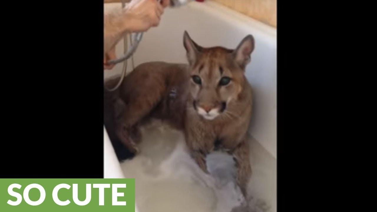 dobra sprzedaż autoryzowana strona outlet na sprzedaż Cougar incredibly chills out for bath time