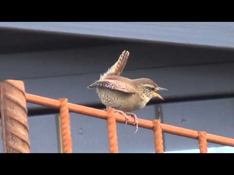 Eurasian wren in ancient folklore - The Wrens Mating Call