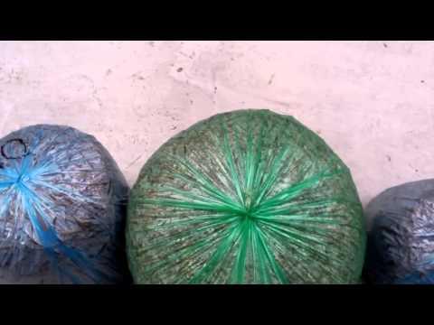 Мицелий вешенки через сутки(1)