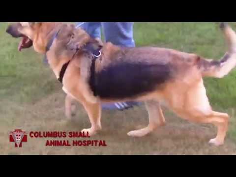 Five Years After ACL Surgery, Large German Shepherd is Looking Good
