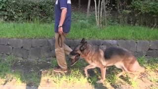 脚側歩行・脚側行進でのポジションについて。 Healthy Dog Ownershipド...