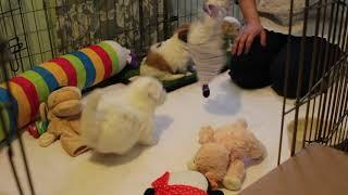 Coton de Tulear Puppies For Sale - Isabella 2/18/21