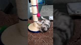 Британский котенок Алиса 2 месяца