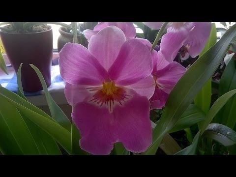 Орхидеи Мильтонии . Полезные советы .