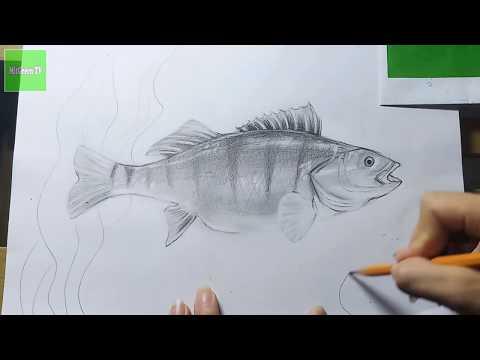 Вопрос: Как нарисовать окуня?