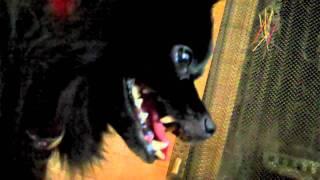 Super Cute Pomeranian Makes Funny Dog Faces
