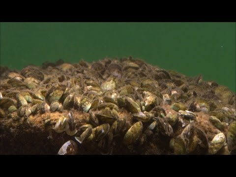 Minnesota Waters At Risk  - Aquatic Invasive Species