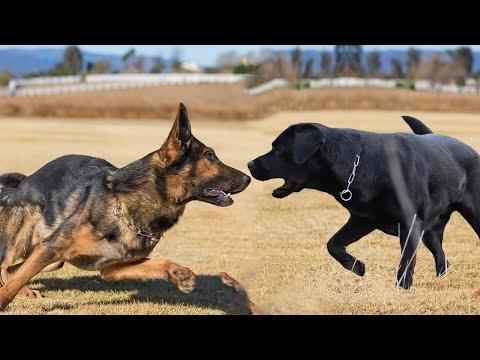 Labrador vs German Shepherd Dog Breed Comparison | Dog Lovers