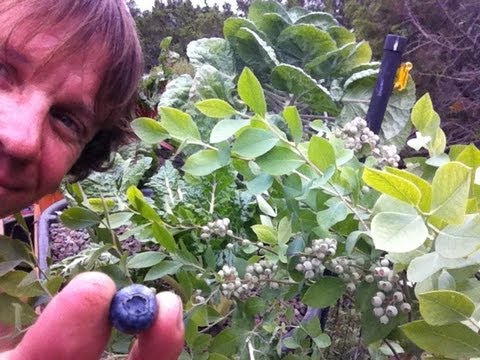 Aquaponic blue berries