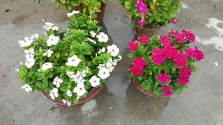 How to care vinca in rainy season?