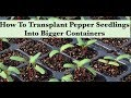 How To Transplant Pepper Seedlings Into Bigger Containers