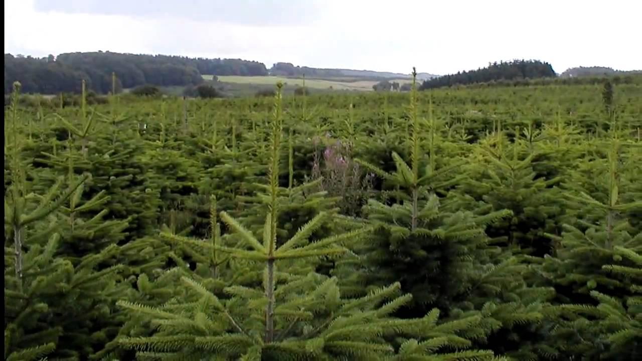 Christmas Tree Species: Nordmann Fir - YouTube