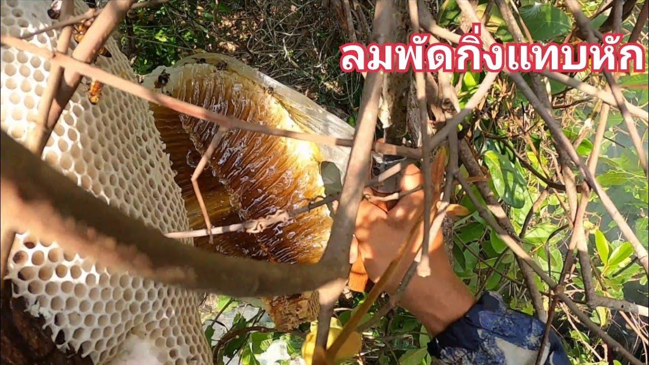 ตีผึ้งหลวงบนที่สูงๆน่ากลัวมากกับสิ่งที่เกิดขณะตัดรังออกจากคอนไม้ / ต้อม คนทำมาหากิน