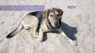 В Бердске пропала собака по кличке Барс