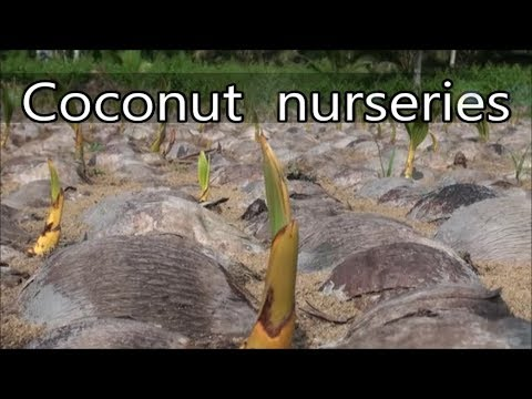 Coconut nurseries from Brazil, Cook, Côte d'Ivoire, Fiji, French Polynesia, Samoa and Solomon
