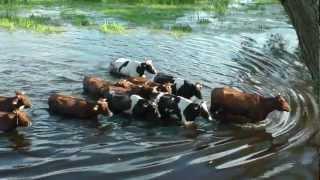 Biebrzański Park Narodowy. Pływające krowy z Brzostowa
