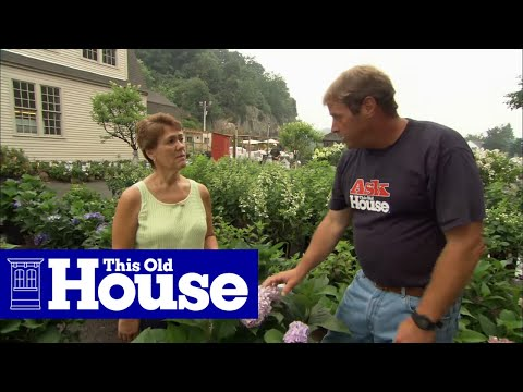 How To Choose And Plant Hydrangeas | Ask This Old House