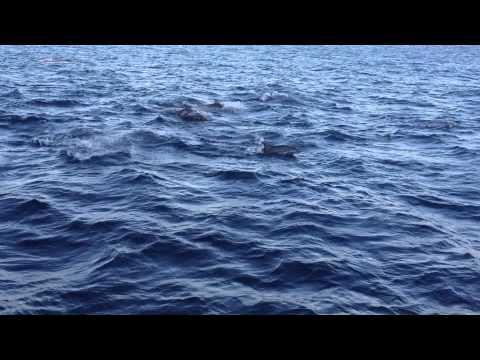 Bottlenose dolphin  / www.galapagosoptions.com