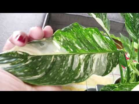Variegated Spathiphyllum aka Peace Lilly.