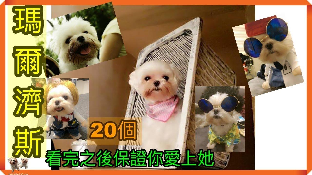 【養狗知識小百科】20個不要輕易養瑪爾濟斯的理由。看完之後保證會讓你愛上他! 哈 - YouTube