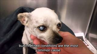 Cataracts in Dogs | 5 Year old Blind Stray Chihuahua