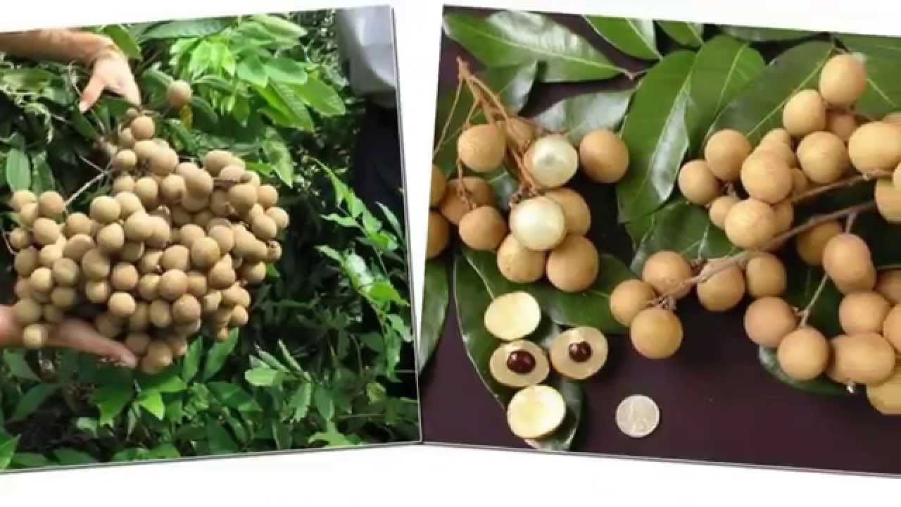 Longan Fruit Tree Pictures