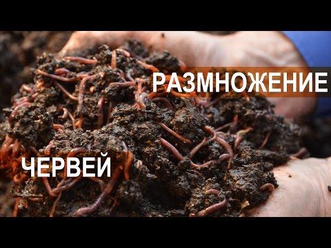 Вермитехнология и селекция червей