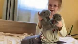 Смешные котята. Нам 3 недели.Шотландская вислоухая