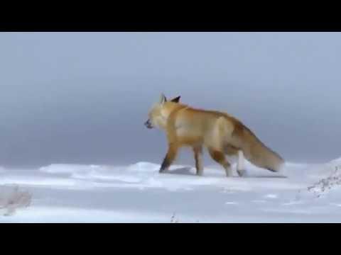 Nature Documentary HD - Yellowstone Wildlife
