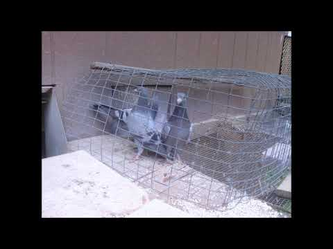 3 young racing pigeons for sale (SOLD)
