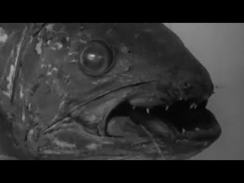 Scientific Sensation Of The Century! Coelacanth | #AttenboroughWeek | Zoo Quest To Madagascar | BBC