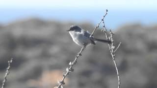 Male California Gnatcatcher taken at Torrey Pines State Reserve, CA