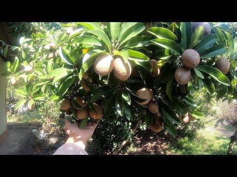 Sapodilla Farm - Agriculture farming - Asian food