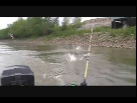 Asian Carp Invasion With FATBOY DAN On The Wabash River