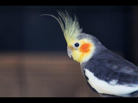 معلومات عن طائر الكروان الكوكتيل وطرق تربيته Youtube