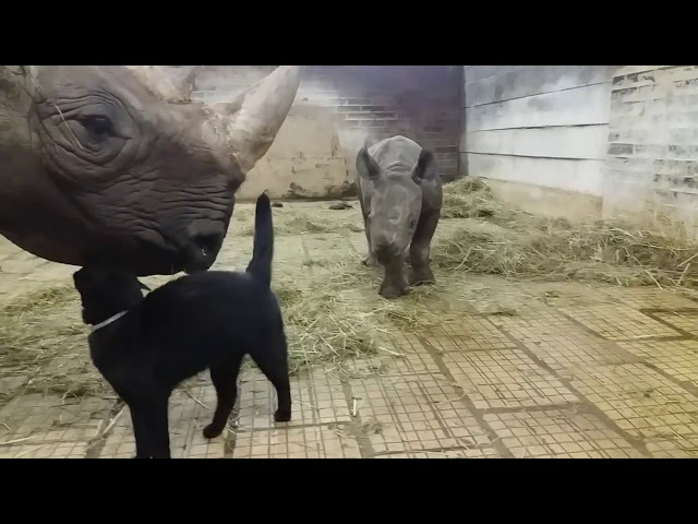 Cat Playing With Rhino  – 975586