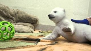 Repeat youtube video Toronto Zoo Female Polar Bear Cub at 2 Months Old
