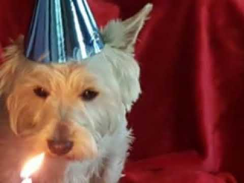 Westie Birthday Party and The Toy Rooster