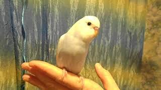 Птенчики, волнистые попугайчики, подросли, учатся летать, старший птенец пол под вопросом!